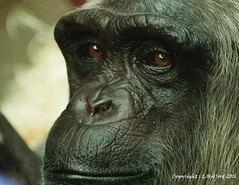 Close Encounter (Holfo) Tags: monkeyworld apes chimpanzees chimps gibbons monkeys orangutans nikon d5300 dorset eyes closeup detail