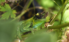 Juvenile Jackson's Chameleon on Parsley Plant (BBMaui) Tags: animal reptile chameleon jacksonschameleon