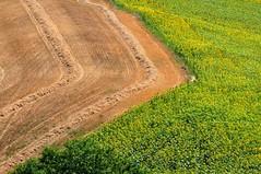 >> (luporosso) Tags: natura nature naturaleza naturalmente nikond300s nikon giallo girasole girasoli sunflower sunflowers sun estate paglia straw geometrie geometry scorcio scorci campagna campi allaperto country countryside marche italia italy