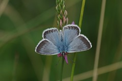 IMGP5532 Chalkhill Blue, Devil's Dyke (Reach, Cambs), July 2016 (bobchappell55) Tags: insect butterfly devilsdyke cambridgeshire grassland chalkhillblue