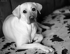 Dog (Miguel Angel Martin Aguilera) Tags: portrait bw dog labrador retrato bn perro