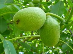 Walnu-Frchte (Jrg Paul Kaspari) Tags: summer green fruits fruit sommer grn regia mosel juglans juglansregia rzig walnus walnusfrchte nusfrchte