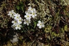 Alpine flower, TBD (Elliott Bignell) Tags: flowers white mountain mountains alps flower berg schweiz switzerland suisse blossom meadow wiese ostschweiz blumen berge alpine blooms alpen svizzera blume rheintal blte alp weiss mels blten wanderung rhinevalley blhen gams sargans pizol blht 5lakes 5seen