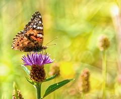 Distelfalter (s.lang534) Tags: natur nature nahaufnahmen naturewatcher olympuse520 olympus oldlens oldlenson43 sommer sommerwiese wildblumen wiese gras grn gelb outdoor falter tagfalter distelfalter