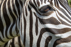 _DSC4723 (adrizufe) Tags: animals cebra zebra cabarceno lines lineas black white cantabria nikonstunninggallery nikon d7000 ngc nature