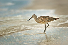 Willet (Kim Taylor Hull) Tags: bird nature water nikon sandpiper wading naturalight willet wadingbird kimtaylorhull