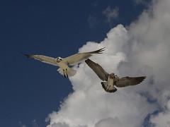 Seagulls (AllHarts) Tags: seagulls gulfofmexico gulfportms mississippigulf naturescarousel