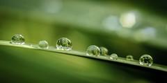 Gotas despues de la lluvia (Kuboimagen) Tags: bokeh chile d5100 drops gotas nikon jardin macro naturaleza 50mm tuboextencion