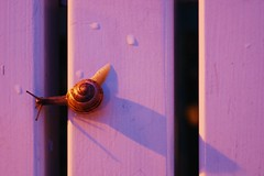 Snail trip. | Wood Snail Close-up Selective Focus Brown Evening Focus On Foreground Nature Bench Warnemnde Rostock Germany Deutschland Purple Pink Getting Inspired Taking Photos Vacation Sony SLT-A58 Eye4photography  EyeEm Best Shots EyeEm Nature Lover B (christiannass) Tags: wood snail closeup selectivefocus brown evening focusonforeground nature bench warnemnde rostock germany deutschland purple pink gettinginspired takingphotos vacation sonyslta58 eye4photography eyeembestshots eyeemnaturelover beautyinnature traveling