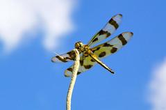 Smile... (Diana Kae) Tags: dragonfly halloweenpennant insect bluesky missouri dianakae dianawhite dianaobryan smile