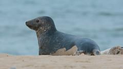 Juvenile Grey Seal on the beach at Horsey (Clive_Bushnell) Tags: atlantic coast grey horsey mammal marine nature norfolk sea seal summer uk wildlife beach