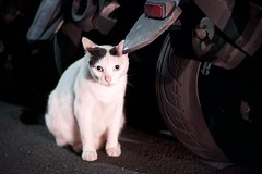 DSC05709 (C*A(t)) Tags: cat straycat taiwan taipei taipets sony a7s