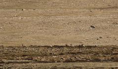 Himalayan blue sheep -Bharal (siddarth.machado) Tags: pseudoisnayaur himalayanbluesheep bharal naur caprid wildlife india northsikkim eastern himalayas sikkim mammal