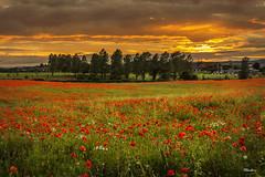 Poppy Sunset (stblackburn) Tags: sunset poppies landscape night flower field outdoor