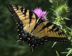 Swallowtail Butterfly Feeding on a Thistle Flower DSCF3001 (Ted_Roger_Karson) Tags: fujifilmxs1 swallowtailbutterfly swallowtail butterfly handheldcamera thisisexcellent thistleflowerhead thistle fujifilm xs1 raynox dcr150 super macro flower hand held camera back yard friends backyard animals flying motion northern illinois macrolife flowerhead flowers twop hd eyes pollen animal outdoor insect pollinator plant depth field the group ourplanet clear wing with proboscis tongue extended feeding scarlet thistleflower northernillinois