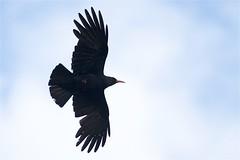 IMG_2991 (Sula Riedlinger) Tags: skomer skomerisland pembrokeshire wales wildlife nature bird birdwatching birds ukbirding ukwildlife ukbirds uknature choughpyrrhocoraxpyrrhocorax chough pyrrhocoraxpyrrhocorax