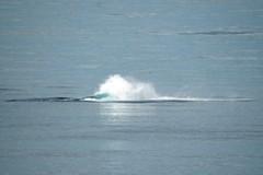 2016-07-22 S9 JB 102651b#coacER (cosplay shooter) Tags: humpback humbackwhale buckelwal wal norwegen norway polarkreis nordpolarkreis nordkap northcape arcticcircle x201608 100a norge