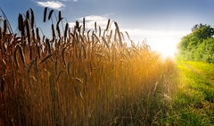 Field at Sunset (kankwawek) Tags: field sunset barleyfield wheatfield ryefield ripefield footpath grass green golden sun sunlight sunbeams sunrays sunburst light evening morning dawn dusk sunrise landscape nonurbanscene horizontal bavaria germany agriculture