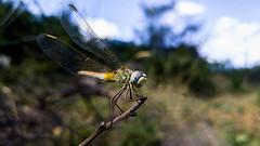 Dragonfly 8 (pozzhe) Tags: gurzuf insects odonata dragonfly sympetrumfonscolombii redveineddarter