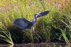 grey heron (Explore) (DODO 1959) Tags: wildlife wales nature avian greyheron landing canon 500mmf4isllens 1dmk4 fauna animal wwt llanelli