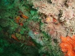 DurlBay 9 (bloomspix) Tags: seasearch underwater englishchannel swanage