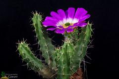 Echinocereus pentalophus (clement_peiffer) Tags: echinocereus pentalophus d7100 105mm nikon cactus fleurs flower cactaceae succulent flowerscolors
