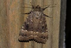 Amphipyra pyramidea (zimbart) Tags: arthropoda belgium fauna heterocera lepidoptera malderen marselaer moths insects hexapoda insecta locations amphipyrapyramidea amphipyra noctuidae amphipyrinae