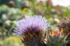 DSC01120.jpg (chagendo) Tags: pflanze makro makrofotografie sonyalpha7ii 90m28g outdoor
