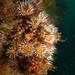 Capturing particles - Anemones and ascidian #marineexplorer