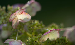 Painted Pink (Captured Heart) Tags: flowers hydrangea morning morninglight morningdew