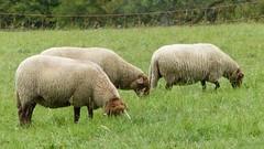 Schafe im Hunsrück