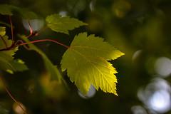 Autumn (San Francisco Gal) Tags: acer mountainmaple leaf bokeh autumn foliage acerglabrum ngc