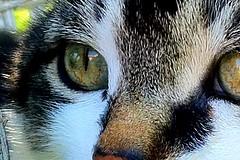 Guigne (nic0v0dka) Tags: eye cat ojo chat pussy ojos gato katze augen minou œil