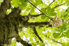 C'est le printemps ! (ChrisG51.fr) Tags: france fleur nikon arbre marne marronnier jards d3300 chrisg51fr
