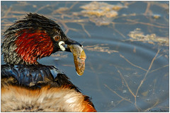 Tuffetto (Fausto Deseri) Tags: wild nature birds wildlife littlegrebe tachybaptusruficollis tuffetto nikontc17eii nikkorafs300mmf4 nikond7100 cronovilla