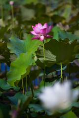 _MG_2201 () Tags: travel flowers school trees summer white plant macro water yellow photography asia university lotus bokeh taiwan taichung              wufeng formosan garden    depth field water lilies botanical  canon5d2