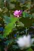 "_MG_2201 (阿蒯) Tags: travel flowers school trees summer white plant macro water yellow photography asia university lotus bokeh taiwan taichung 台灣 植物 水 花朵 荷花 蓮花 植物園 學校 黃色 白色 夏天 樹 睡蓮 wufeng formosan garden"" 阿勃勒 霧峰 台中市 ""depth field"" ""water lilies"" ""botanical 亞洲大學 canon5d2 阿蒯的家"