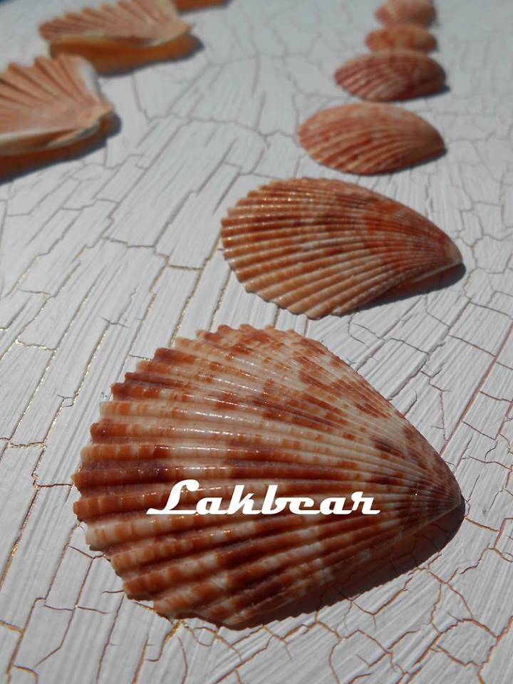 seashell collection display idea in transfered frame lakbeard tags bear