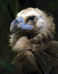 Cinereous vulture (ucumari photography) Tags: bird sc animal south columbia carolina april riverbankszoo 2015 cinereousvulture aegypiusmonachus specanimal ucumariphotography dsc1361