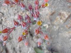 Dudleya lanceolata (lanceleaf liveforever) (MikeMalaska) Tags: wildflowers liveforever dudleya deukmejian