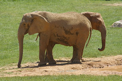 which way do we go? (ucumari photography) Tags: elephant animal mammal zoo nc north pachyderm may carolina 2015 specanimal ucumariphotography dsc1956