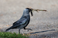 Ode aan Angerenstein 2015 - Jeroen Gosse - Fotobureau de Kracht van Beeld -58.jpg (Jeroen Gosse) Tags: bird arnhem vogel kauw angerenstein