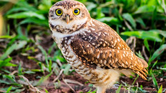 Coruja (Alexandro da Silva) Tags: verde bird alex animal foto natureza lawn grama owl coruja fotografia passaro fotografo alexandro