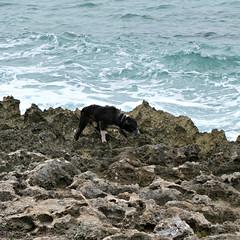 Hunt (goatling) Tags: dog island reptile lizard tropical tropic caribbean cayman grandcayman westbay britishwestindies gcm201506 201506gcm