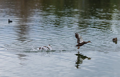 Take Off (Glen Turns) Tags: lake bird nature water animal fly duck flight australia