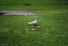Familia (Marco San Martin) Tags: naturaleza green nature beautiful beauty garden nikon ducks patos beautifulday naturelovers iamnikon marcosanmartin