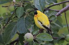 Chardonneret mle (Marie-Helene Abitibi) Tags: oiseau abitibi valdor mariehelene chardonneret mariehlne bourlamaque