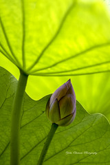 Bud of lotus [Explored] (yoko.wannwannmaru) Tags: 20160716dsc2809hn bud lotus flower ueno japan explored