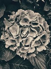 Hydrangea memories. (Eilis88) Tags: hydrangea flower blackwhite italy lombardy oltrepo summer nature memories nostalgia