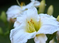 Gold dust and ruffles (Bubash) Tags: summer flower nature garden gold petals dof bokeh daylily pollen blooms dust perennial
